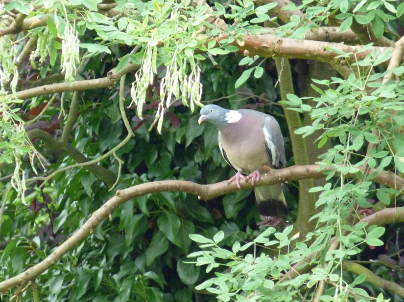 the Lincolnshire wood-pidgeon